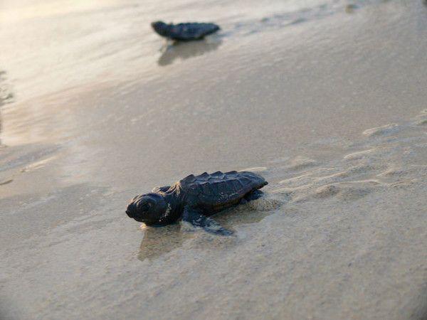 Cria de tortuga yendo hacia el mar en boa vista